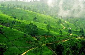 nuvara-eliya-chajnye-plantatsii