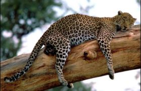 long_week_leopard_tanzania